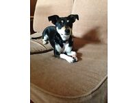 Jack Russell cross male 1 year old