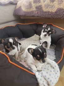 Adorable Tri Coloured Chihuahua x Puppies
