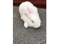 New Zealand White rabbit, female, 10 weeks