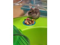 Russian dwarf hamsters 1 male and 2 females