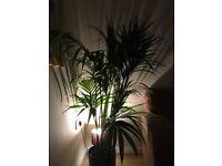Kentia Palm with indoor pot