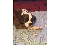 Boxer cross for sale