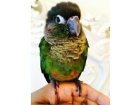 Fully HandReared SillyTamed Gorgeous Baby GreenCheek Conure Parrot