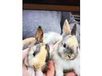 Baby rabbits for sale ready now male and females from £25 to £45 each