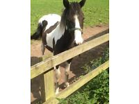 Belle Piebald Trotting type filly (TB x cob) 14hh will make 15.2hh 2 yrs old based in oxford