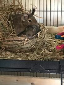 2x degus and large cage and accessories