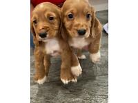 Red cocker spaniel puppies