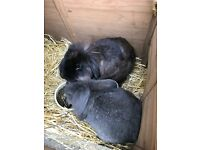 Two neutered male lion head lop rabbits