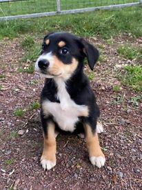 Huntaway x collie puppies !