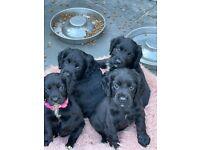 For sale black Sprocker Spaniel puppies - ready 1st July