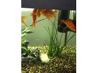 Free Gold Fish