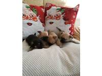 Chihuahua Puppies For Sale - One Boy Sold