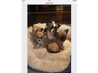 Chihuahua puppies ready for forever loving homes