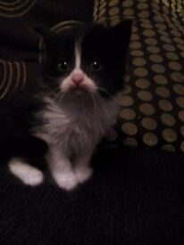 Kitten Black and white female 8 weeks old ready now