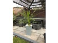 Phoenix date palm