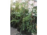 Leylandii Conifers quick sale