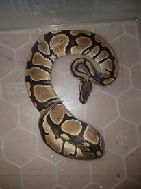 Cb16 royal python