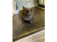 Black fluffy male kitten -SOLD