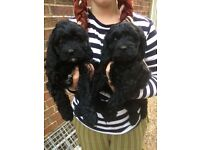 Cavapoo Puppies, DNA Tested & Cleared, Ready Now