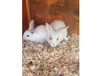 Two baby rabbits for sale 1 boy 1 girl ready to go £10 each