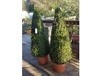 topiary and buxus plants LARGE