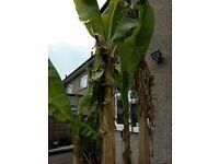 Banana plants from £5-20