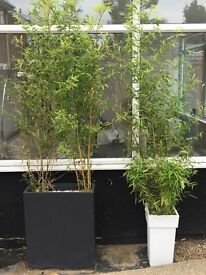 Superb bamboo for sale at £45 and Garden Hose at £5