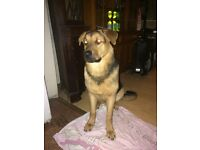 7 month old German shepherd x Rottweiler for sale