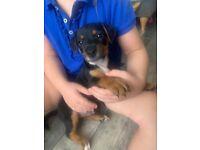 Patterjack puppy's