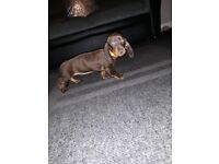 Miniature dachund for salle