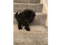 Reduced price Poochon puppies