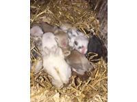 Babie rabbits & Guinea pigs