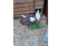 3 Bantam Chickens