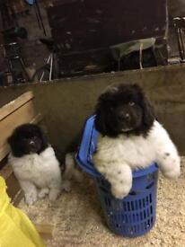 Newfoundland puppy's kc registered