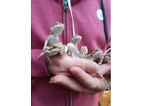 4 month old baby bearded dragons