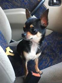 Kc registered chihuahua