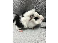 Baby guinea pigs ready soon (all reserved)