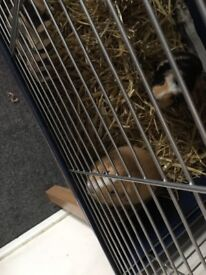 Two male guinea pigs year old