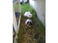2 female guinea pigs inc. Hutch and cage
