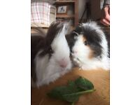 2 male guinea pigs with double storey cage and everything else you need!
