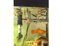Male and females guppys £1.50 each!