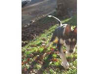18 week female husky x