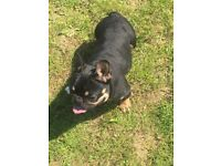 Kc reg black/tan Male French bulldog