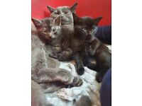 Beautiful 1/4 british blue kittens,ready in 2weeks NOW BOTH SOLD