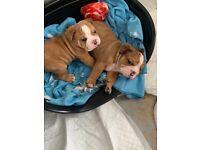 Beautiful Merle Bulldog pup