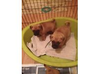 pug x puppy for sale