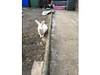 Male and female rabbit for sale