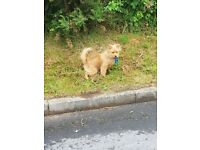 8 month old small pomperanian for sale