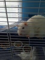 2 white rats for free