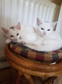 Two white male kittens
